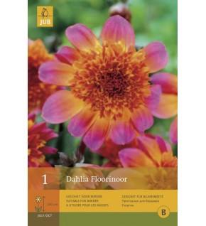 1 Dahlia à fleur d'anémone Floorinoor Cal.1