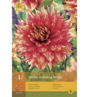 1 Dahlia semi Cactus Dazzling Magic Cal.1