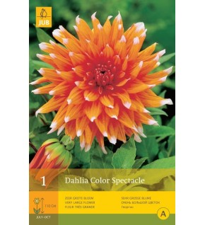 1 Dahlia semi cactus Color Spectacle Cal.1