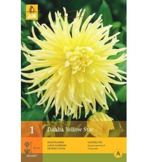 1 Dahlia semi cactus Yellow Star Cal.1