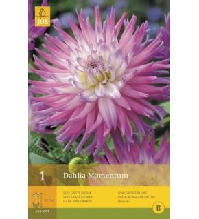 1 Dahlia cactus Momentum Cal.1