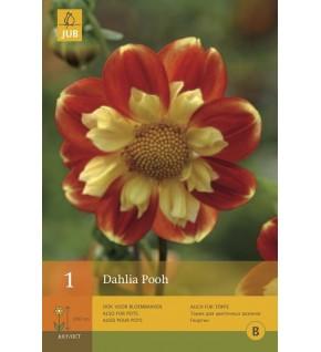 1 Dahlia à fleur d'anémone Pooh Cal.1