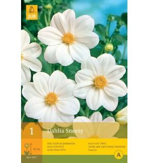 1 Dahlia à fleur d'anémone Sneezy Cal.1