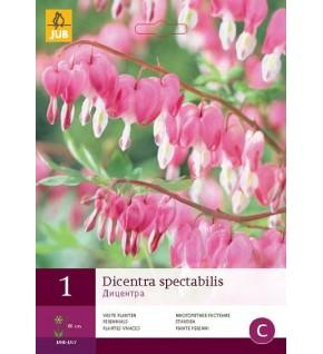 1 Coeurs de Marie (Dicentra spectabilis)