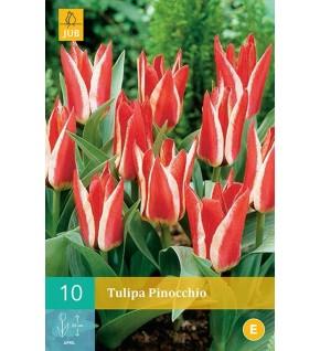 Tulipes Pinocchio