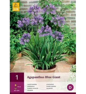 1 Agapanthus Blue Giant