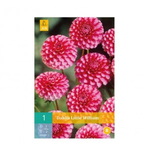 Dahlia nain Little William