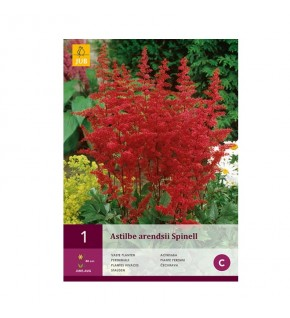 1 Astilbe arendsii spinell