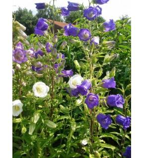 Campanule à grosse fleur variée