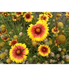 Gaillarde vivace à grande fleur variée