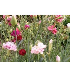 Oeillet Enfants de Nice à fleur double varié