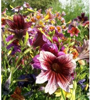 Salpiglossis à grande fleur varié