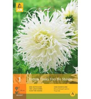 1 Dahlia semi cactus Tsuki Yori No Shisha blanc Cal 1