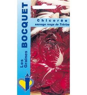 Chicorée à large feuille Rosa di Treviso 2 ( rouge de Trèvise )