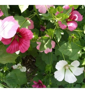 Malope à grande fleur variée