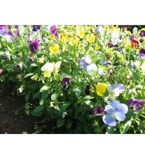 Viola Cornuta variée