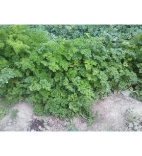 Persil frisé vert foncé gros grammage