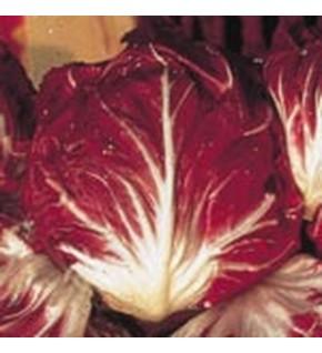 Chicorée à large feuille rouge de Vérone