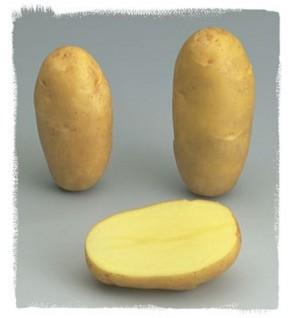 Pomme de terre Samba