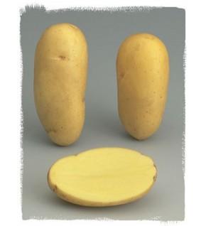 Pomme de terre Charlotte BIO certifiés ECOCERT FR-BIO-01