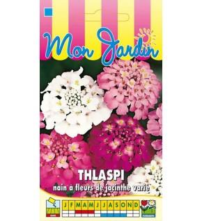 Thlaspi nain à fleurs de jacinthe varié