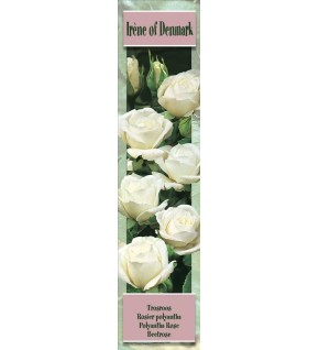 1 Rosier buisson Irene of Demmark blanc