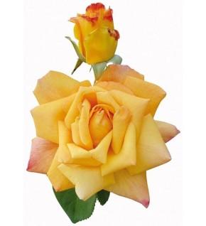 1 Rosier buisson Mme A.Meilland jaune et rose