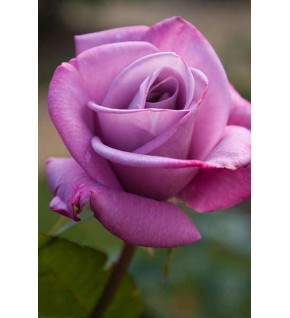 1 Rosier buisson Waltz Time mauve