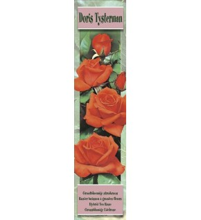 1 Rosier buisson Doris Tysterman orange