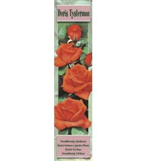 1 Rosier buisson Doris Tysterman orange