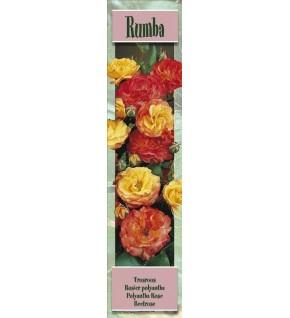 1 Rosier à massifs Rumba jaune et rouge