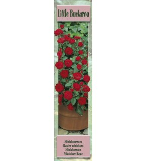 1 Rosier miniature Little Buckaroo rouge