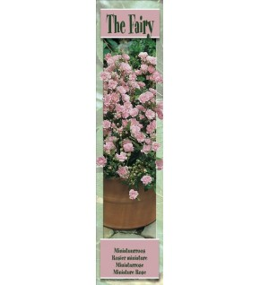 1 Rosier retombant The Fairy rose pâle