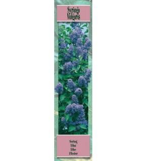 1 Lilas à fleur lilas bleuté