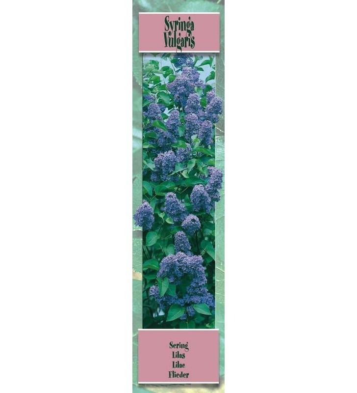 Lilas A Fleur Lilas Bleute Graines Bocquet