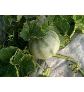 Melon cantaloup charentais