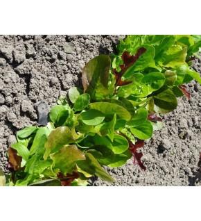 Mesclun - mélange de salades