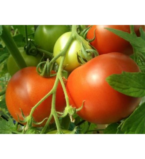 Tomate hybride F1 Paola