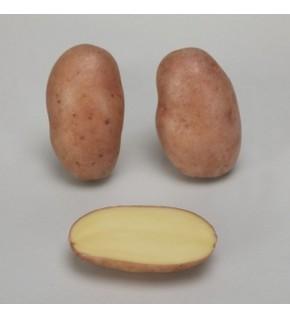 Pomme de terre Jeannette