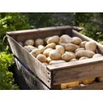 Filets de 25 Plants de Pommes de Terre BIO | Graines Bocquet