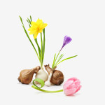 Bulbes de fleurs à planter au printemps   Graines Bocquet