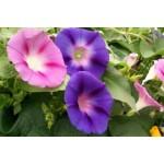 Graines de fleurs grimpantes à semer | Graines Bocquet