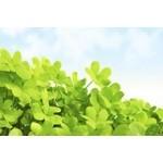 Sélection de Trèfles à 4 feuilles !  | Graines Bocquet