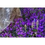 Graines de fleurs rampantes à semer | Graines Bocquet