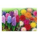 Bulbes à fleurs à planter : Bégonias, Dahlias … | Graines Bocquet