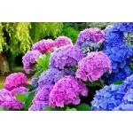 Arbustes à fleurs à planter | Graines Bocquet