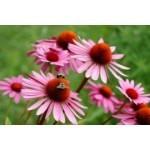 Graines de fleurs vivaces à semer  | Graines Bocquet