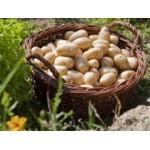Filets de Plants de Pommes de Terre Très Hâtives   Graines Bocquet