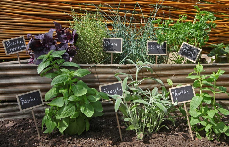Comment Planter Les Graines De Persil cultiver des plantes aromatiques au potager | graines bocquet